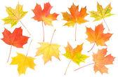 Autumn maple leaves set — Stock Photo