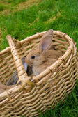 Bunnies in basket — Stock Photo