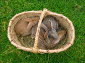 Four bunnies in basket — Stock Photo