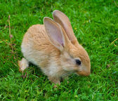 Little brown bunny on grass — Foto de Stock