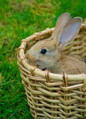Small bunny in basket — Stock Photo