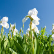 White irises against a blue sky — Stock Photo #3921172