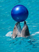 Two dolphins playing with ball — Stock Photo