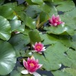 Pink Water lily (Nympheaceae) — 图库照片 #2879293