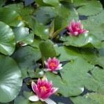Pink Water lily (Nympheaceae) — Stok fotoğraf