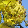 Stock Photo: Ripe yellow grapes