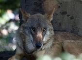 European Wolf — Stock Photo