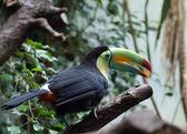 Tucan colorido — Fotografia Stock
