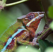 Madagascar Chameleon — Stock Photo