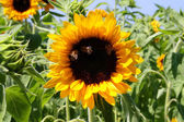 Sunflower & Bees — Stock Photo
