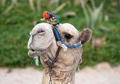 Relaxing Camel — Stock Photo