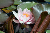 Pink Water lily (Nympheaceae) — Stock Photo