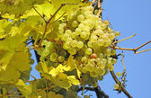 Ripe yellow grapes — Stock Photo