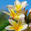 Plumeria (Frangipani) flowers - Stock Photo