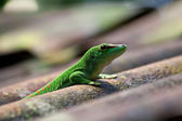 Green gecko — Foto Stock