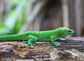 Green geko — Foto de Stock