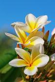 Плюмерия (Франгипани) цветы — Стоковое фото