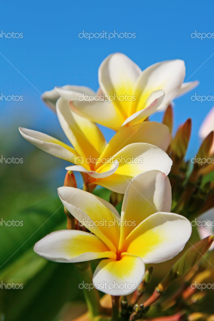 Plumeria (Frangipani) flowers in the garden — Stock Photo #3152086