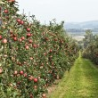 Apple garden — Stock Photo #3161669