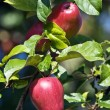 Apple garden — Stock Photo #3161720