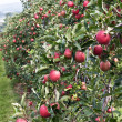 Apple garden — Stock Photo #3161794