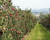 Apple garden — Stock Photo