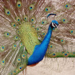 Royalty-Free Stock Photo: Peacock in Full Display