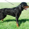 Rottweiler — Stock Photo #3286480