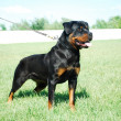 Rottweiler — Stock Photo #3286633