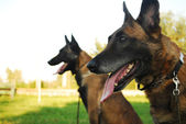 Belgian shepherd — Stock Photo