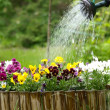 Watering Flowers — Stock Photo #2964182
