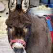 Close-up Photo of a Donkey on a Tether - Stock Photo