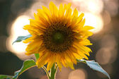Beautiful sunflower in the field — Stock Photo