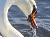 Swan portrait — Stock Photo