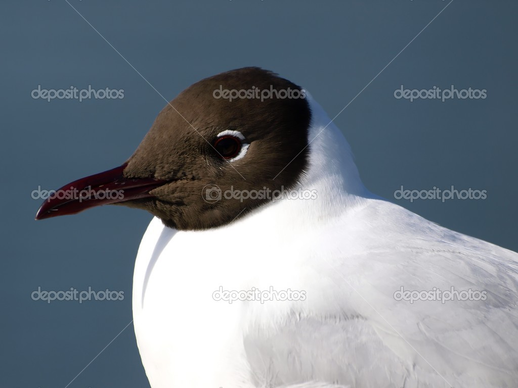 A black-headed seagull — Stock Photo #2964238