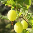 Stock Photo: Gooseberries