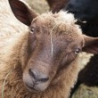 Sheep portrait - Stockfoto