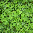 Clover - 