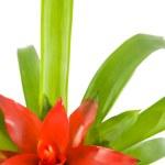 Closeup of red Guzmania flower on white — Stock Photo