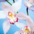 Close up of a purple orchid isolated on — Stock Photo #2696479