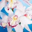 Close up of a purple orchid isolated on — Stock Photo