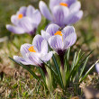 Stock Photo: Violet crocus