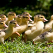 Ducklings on grass — 图库照片