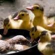 Yellow ducklings drinking water — Stock Photo