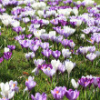 Purple crocuses in the field - Stock Photo