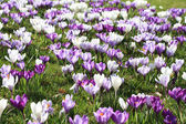 Purple crocuses in the field — Stock Photo