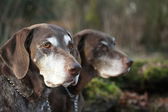 German shorthaired pointer sisters — Stock Photo