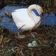 Swan with nest — Stock Photo