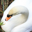 Swan on a nest — Stock Photo
