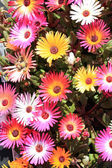 Delosperma cooperi trailing iceplant — Stock Photo